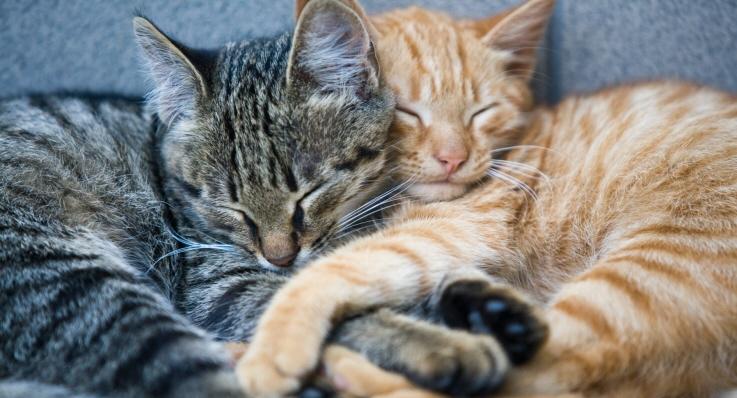 Två huskatter gosar med varandra.