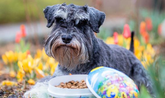 Var försiktig så att hunden inte kommer åt chokladen i påskägget. Dvärgschnauzern Harry får istället hundgodis i påsk.
